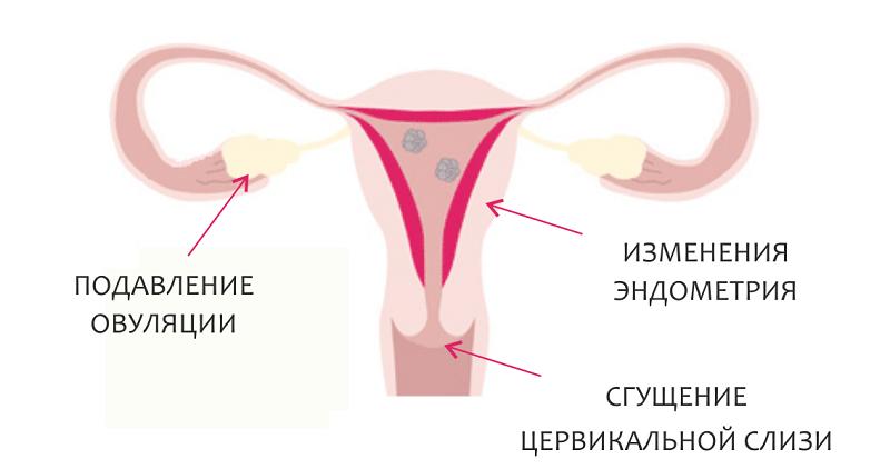 Механизм действия гормональных контрацептивов - MedExplorer ...