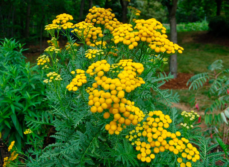 Пижма: посадка и уход, выращивание из семян, полезные свойства