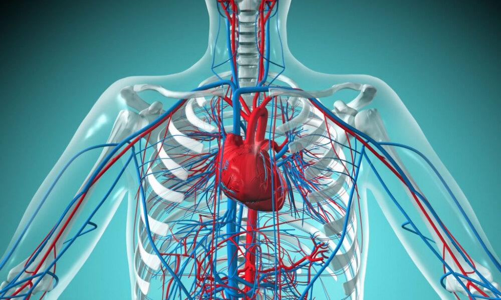 Строение и функции сердечно сосудистой системы человека