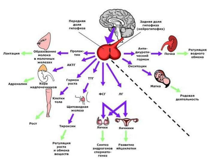 Роль гормонов в организме человека, гормон при диабете