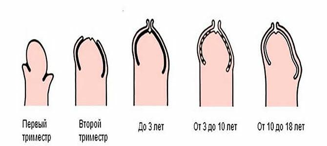 Как развивается пенис у детей