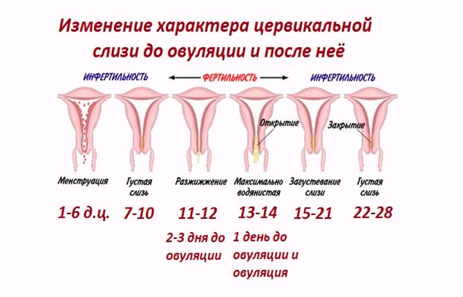 Фертильность и инфертильность